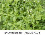 background of stevia rebaudiana ... | Shutterstock . vector #753087175