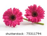 Two Gerbera Daisy Flowers On...