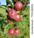 Small photo of Bernese rose apple, malus, domestica
