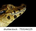 Small photo of Head of the Black Caiman (Melanosuchus niger) Alligatoridae family. Amazon Rainforest,Brazil