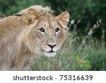 wild lion in long grass staring ... | Shutterstock . vector #75316639
