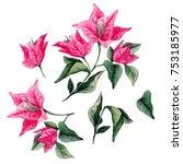 bougainvillea flower bouqet... | Shutterstock . vector #753185977