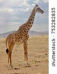 Giraffe  Savannah  Serengeti ...