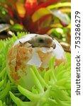 cute baby tortoise hatching on... | Shutterstock . vector #753286279