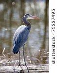 Great Blue Heron Is Standing...