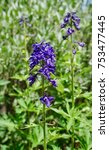 Small photo of beautiful blue delphinium flowers in the rocky mountains above alma colorado