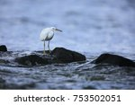 eastern reef heron or pacific... | Shutterstock . vector #753502051