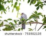 Small photo of Variable Goshawk (Accipiter hiogaster) in Solomon Island