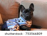 brindle french bulldog enjoying ... | Shutterstock . vector #753566809