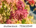 Maple leaves start to change color to yellow and red day light in autumn season, October Japan.