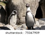 humboldt penguin at the zoo   Shutterstock . vector #75367909