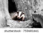 badger near its burrow in the... | Shutterstock . vector #753681661