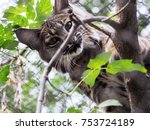 eurasian lynx  portrait of wild ...   Shutterstock . vector #753724189