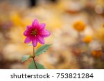 Single Pink Dahlia Blooming On...