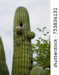 Small photo of The saguaro cactus (Carnegiea gigantea) is one of the defining plants of the Sonoran Desert. These plants are large, tree-like columnar cacti that develop branches (or arms) as they age, although some