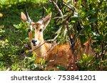 portrait of an impala antelope... | Shutterstock . vector #753841201