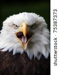 Bald Eagle Close Up Portrait