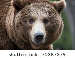 Brown Bear Close Up Portrait