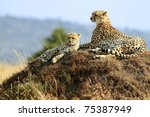 Masai Mara Cheetahs