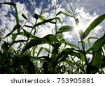 Small photo of Almighty Corn Under The Sun