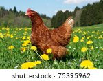 hen outside in the meadow at...