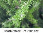 rosemary plant  rosemary leaf | Shutterstock . vector #753984529