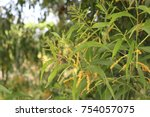 Small photo of Acacia mangium. yellow flower of Acacia mangium