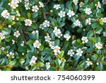 Cotoneaster Integerrimus Or...