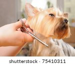 Stock photo yorkshire terrier getting his hair cut at the groomer 75410311