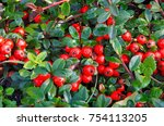 A Cotoneaster Bush With Lots O...