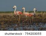 flamingos  patagonia argentina   Shutterstock . vector #754203055