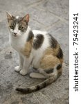 Calico Stray Cat Waiting For...