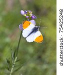 A Male Orange Tip Butterfly...