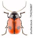Leaf Beetle Cryptocephalus...