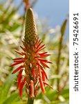 Flowers Of The Aloe Vera Plant