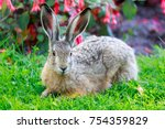 Stock photo european hare lepus europaeus close up european brown hare lies flattened against the ground in 754359829