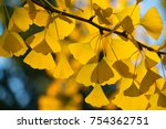 Golden Leaves On A Gingko Tree...