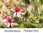 Feijoa Flowers And Buds On...