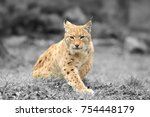 young lynx. black and white...   Shutterstock . vector #754448179