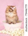 Stock photo golden chinchilla persian kitten sitting inside popcorn bowl on pink background 75446779