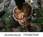 Small photo of Lingzhi mushroom in Thailand forest .Microporus, Amauroderma