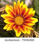 Vibrant Yellow Gazania Flower ...
