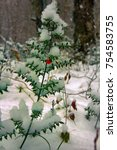 Small photo of Butchers-broom (Ruscus aculeatus angustifolius) - subtropical evergreen bent under weight of unexpected snow, tertiary relic, saw Argonauts , Odysseus. Colchis. East shore of Black sea.