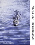 A American Alligator Swimming...
