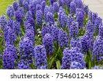 Blue  Hyacinths Flowers...