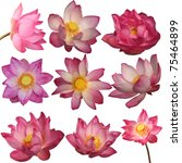 Stock photo lotus flowers isolated on white background 75464899