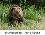 grizzly bear in the tall grass  | Shutterstock . vector #754678465