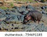 Small photo of A Male Hippopotamus nudging a Nile Crocodile