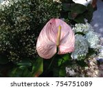 anthurium flowers beautiful in... | Shutterstock . vector #754751089