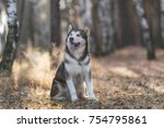 Funny Husky Sits In The Forest...